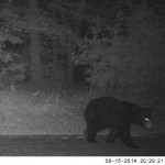 Bear at Night on Glassy Mountain