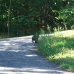 Young Bear Walking on the Road