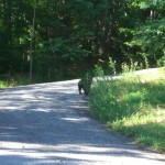 Young black bear walking down the road.