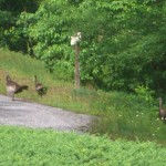 Turkeys on the Road