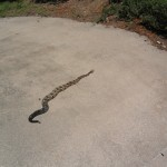 Timber Rattlesnake on our driveway