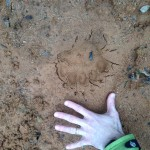 Large bear paw print with claw indentations. March of 2013.