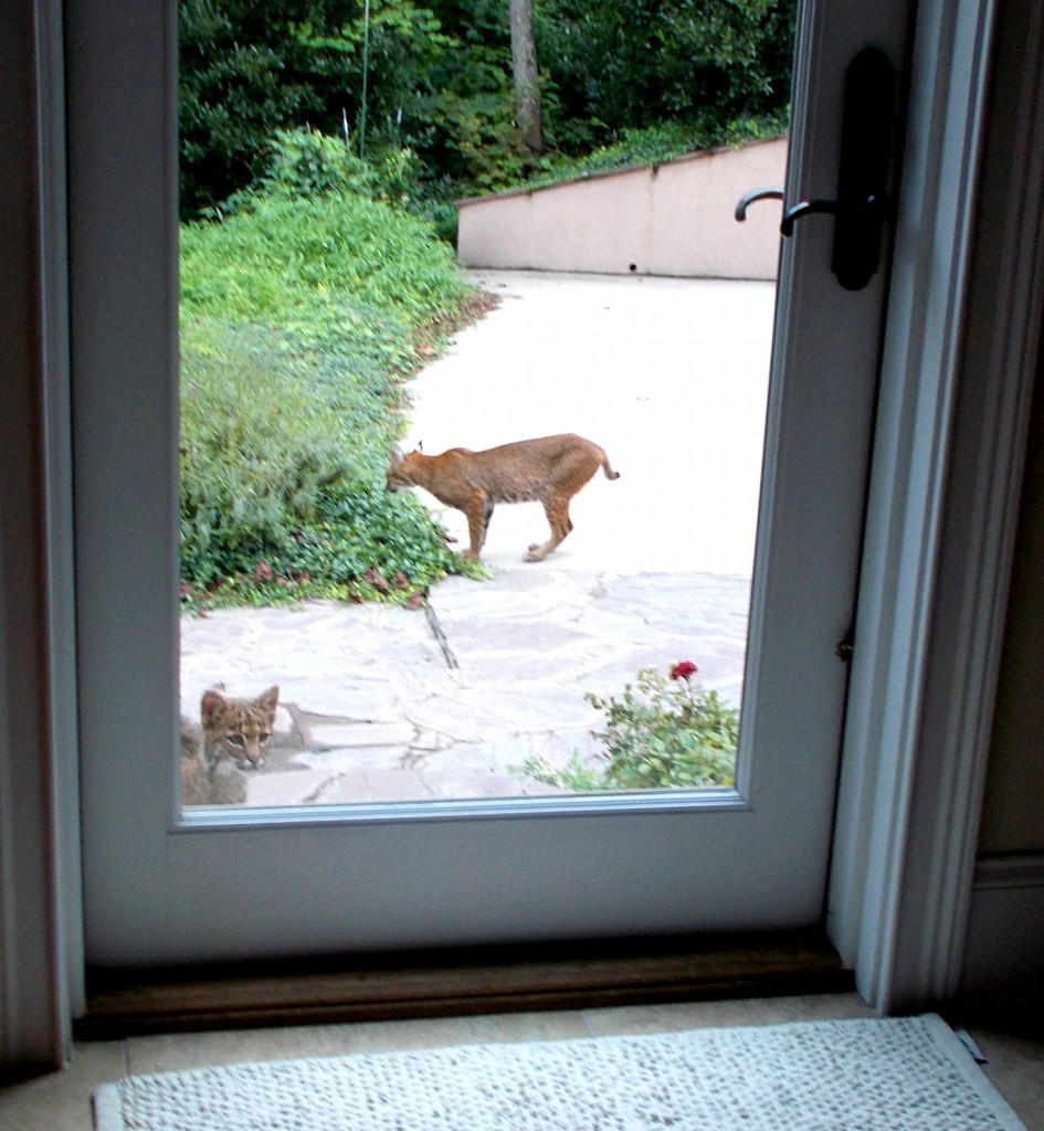 Bobcat mother and kit